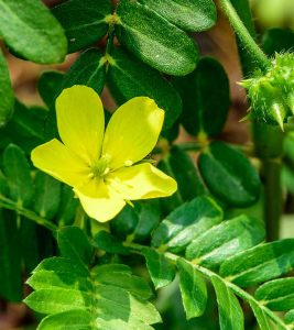 Gokhru Benefits, Uses and Side Effects in Hindi