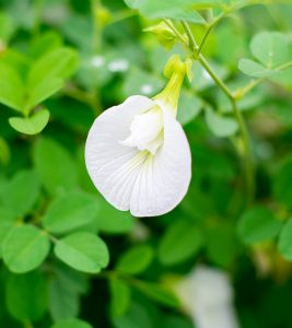 Shankhpushpi Benefits and Side Effects in Hindi