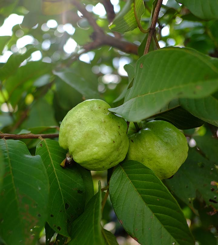 Guava Leaves Benefits and Side Effects in Hindi