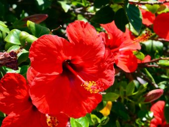 Hibiscus Oil For Hair Growth in Hindi