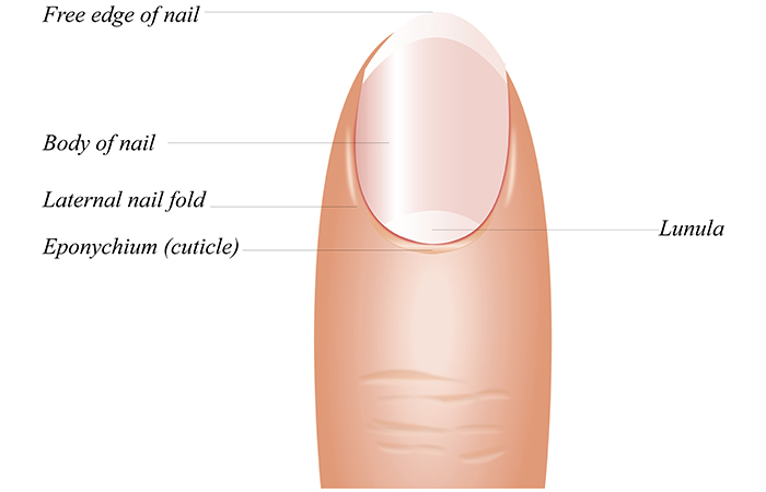 What are the cuticles?