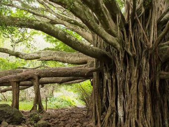 Banyan Tree (Bargad) Benefits and Side Effects in Hindi