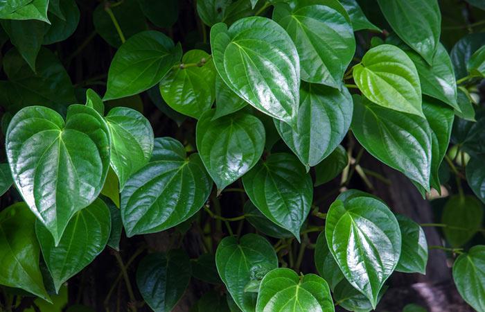 Betel Leaves2