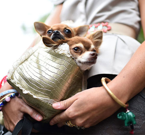 Dogs as Accessories