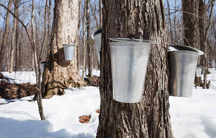 What is Maple Syrup in Hindi