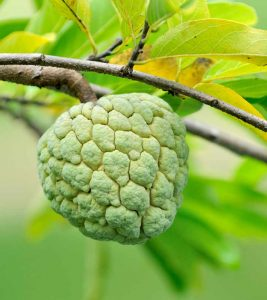Custard Apple (Sitafal) Benefits and Side Effects in Hindi