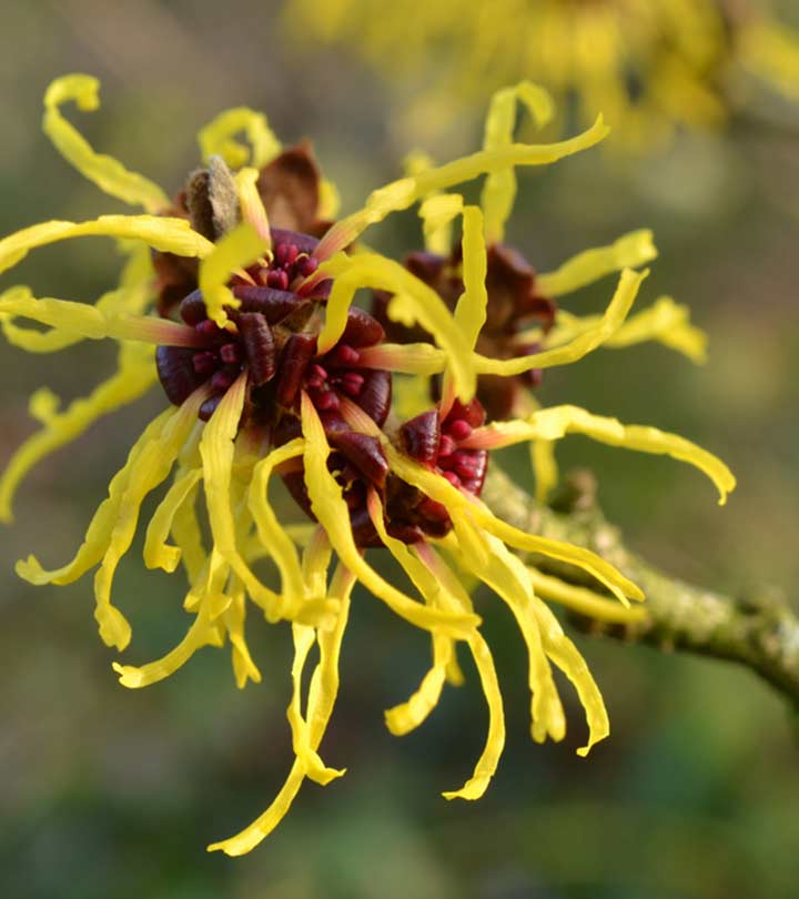 Witch Hazel Benefits and Side Effects in Hindi