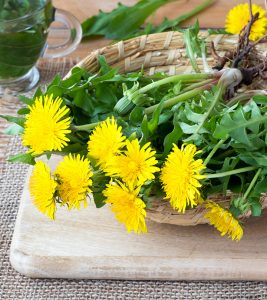 Dandelion Benefits and Side Effects in Hindi