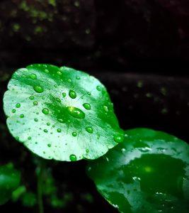Gotu-Kola-(Mandukaparni)-Benefits-and-Side-Effects-in-Hindi