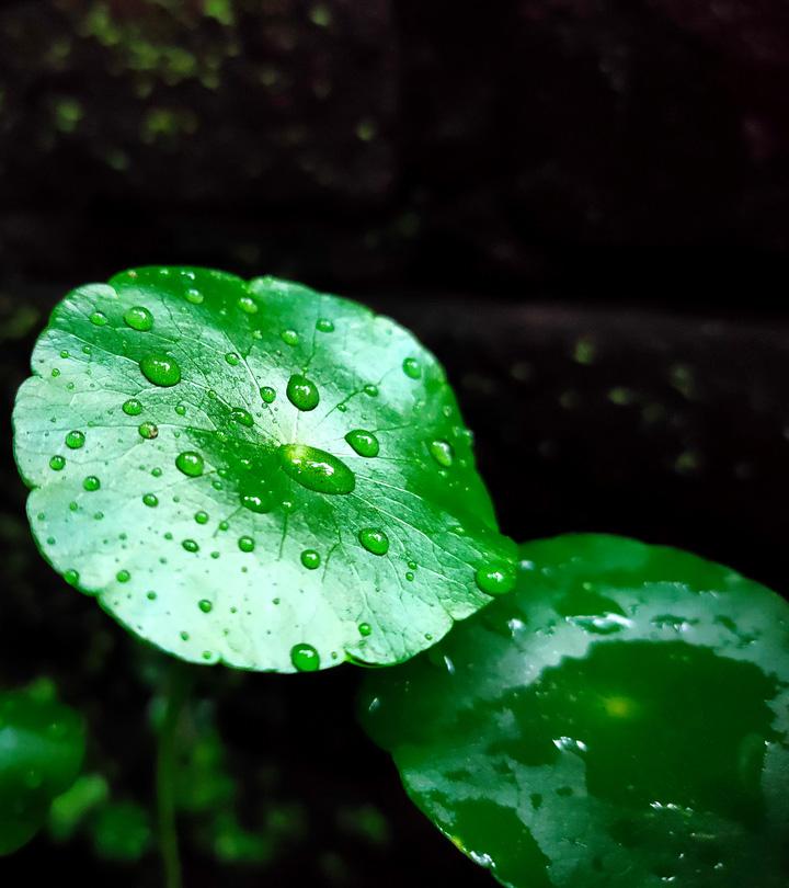 गोटू कोला (मण्डूकपर्णी) के फायदे और नुकसान – Gotu Kola (Mandukaparni) Benefits and Side Effects in Hindi