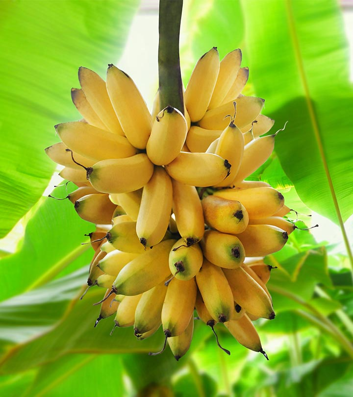 Banana Benefits, Uses and Side Effects in Bengali