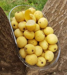 Marula Oil Benefits, Uses and Side Effects in Hindi