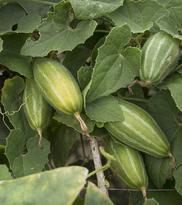 Pointed Gourd (Parwal) Benefits and Side Effects in Hindi