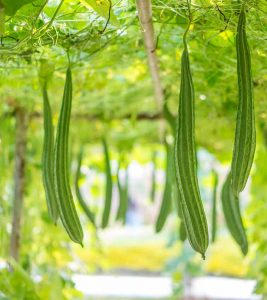 Ridge Gourd (Turai) Benefits and Side Effects in Hindi