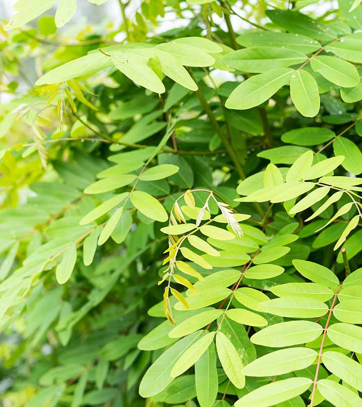 Senna Leaf Benefits and Side Effects in Hindi
