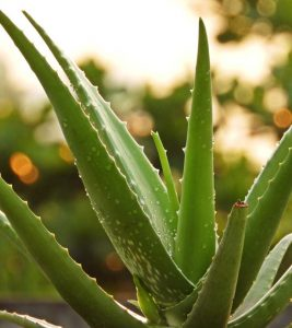 Benefits Of The Miracle Plant Aloe Vera On Hair And Skin