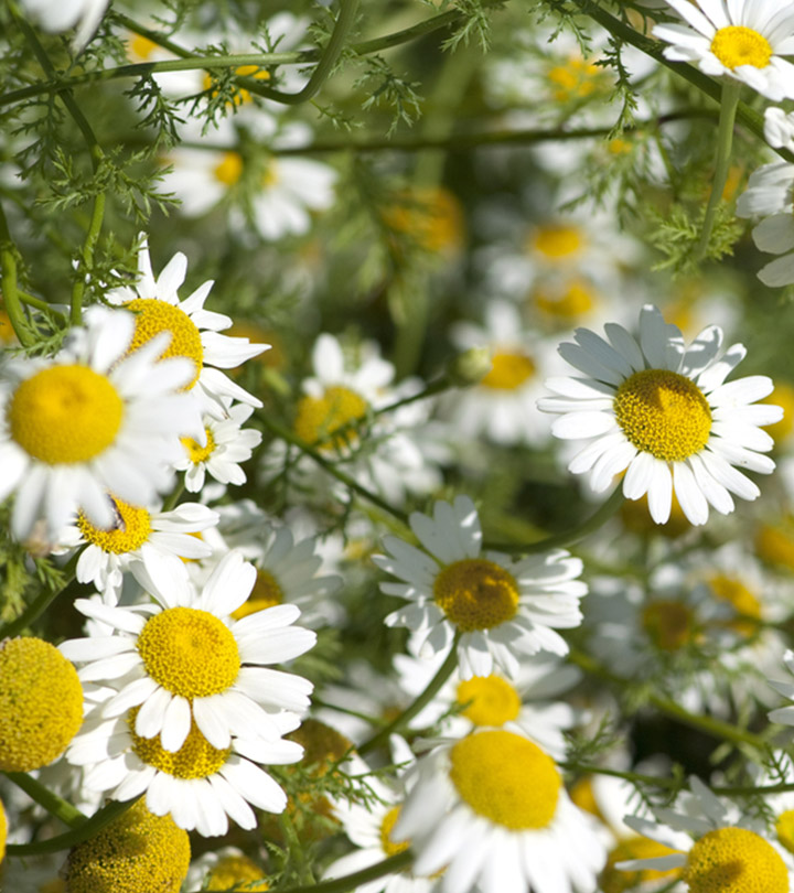 Akarkara Anacyclus pyrethrum Benefits, Uses and Side Effects