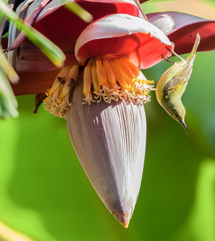 Banana Flower Benefits, Uses and Side Effects in Hindi