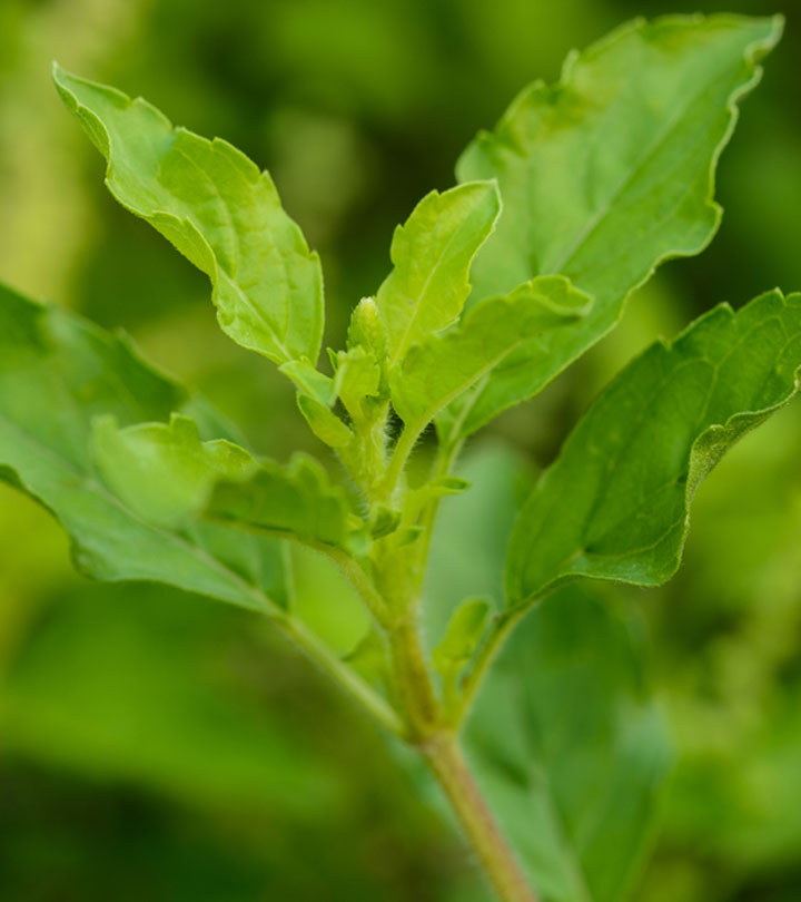 Chiranjeevi herb found by Siddharthas - Health benefits of tulsi