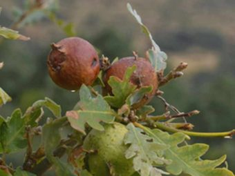 Majuphal (Oak Gall) Benefits and Side Effects in Hindi