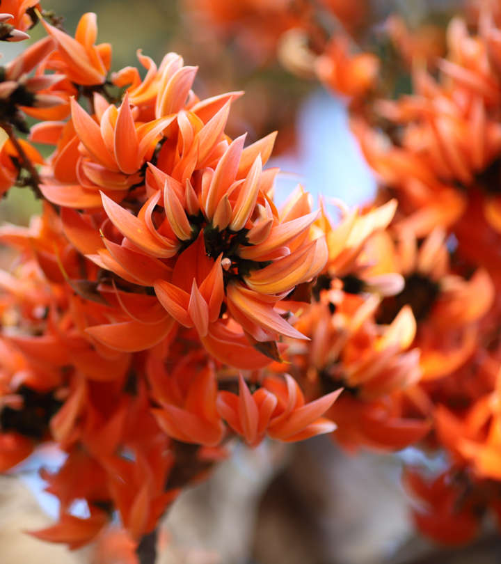 Palash (Butea Monosperma) Benefits, Uses and Side Effects in Hindi