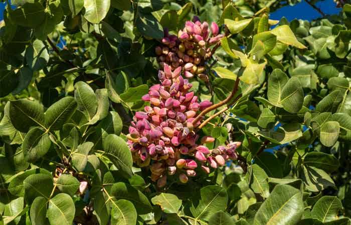 pistachios-grow-on-tree-pistachio