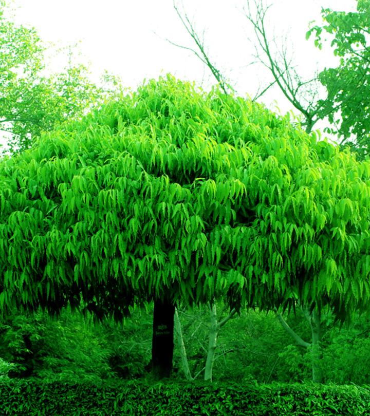 சீதை வந்தமர்ந்த அசோக மரம்.. பெண்களின் உடல் துன்பம் போக்க இறைவன் தந்த வரம்! Benefits of Ashoka tree in tamil