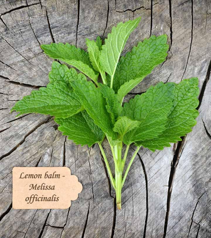 எலுமிச்சை தைலத்தின் நன்மைகள் – Benefits Of Lemon Balm In Tamil