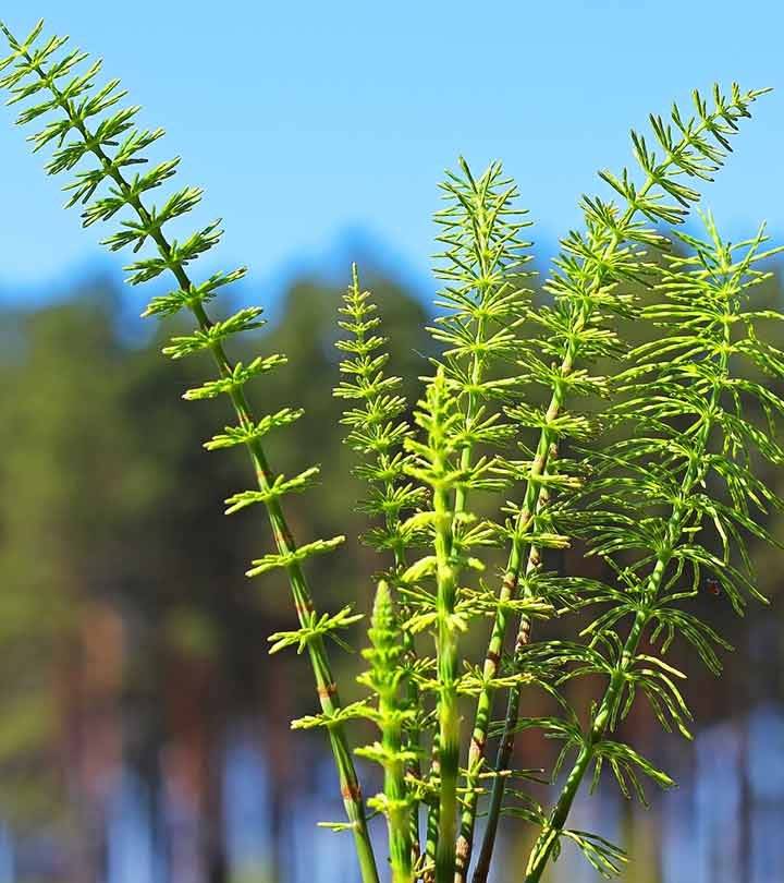 How Can Horsetail Help Aid in Hair Growth?