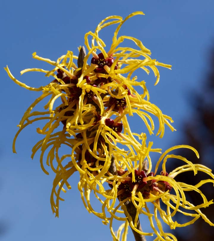 Can You Use Witch Hazel On Your Face?