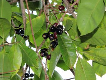 Jamun Leaves Benefits and Side Effects in Hindi