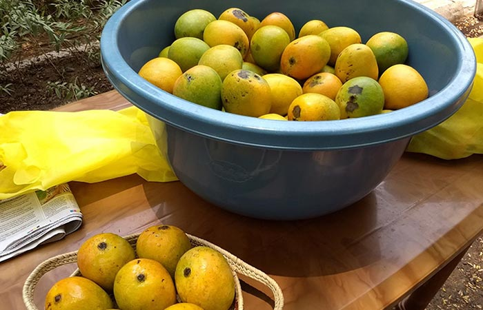 Mankurad Mangoes Goa