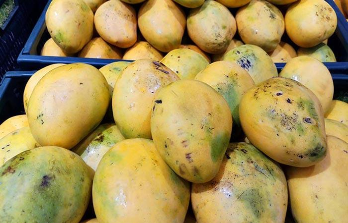 Safeda Mangoes Andhra Pradesh