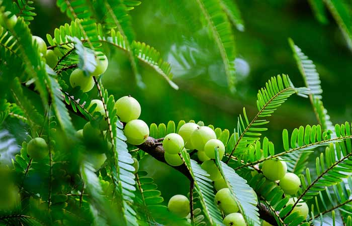 What Are The Benefits Of Amla For Immunity