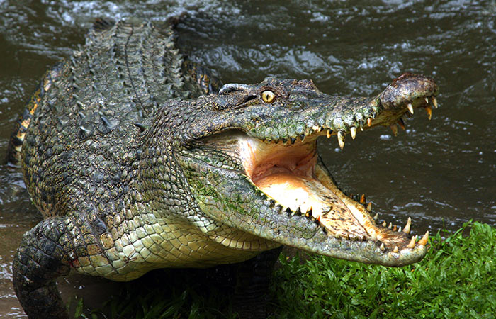 Crocodile Dung For Anti-Ageing