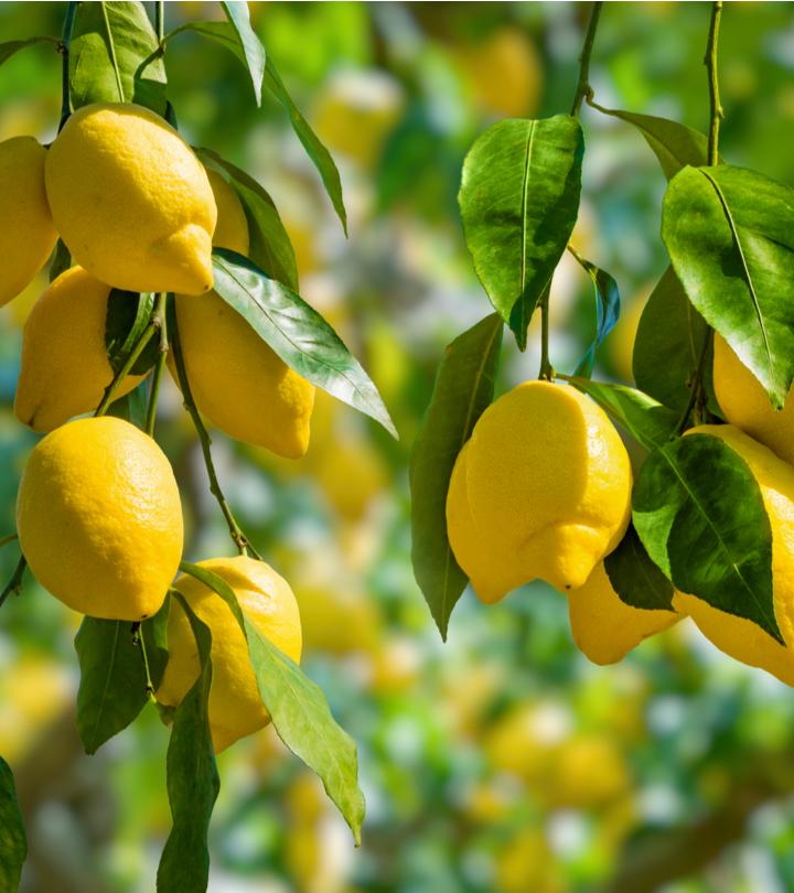 नींबू के पत्ते के 11 फायदे और नुकसान – Benefits Of Lemon Leaves in Hindi