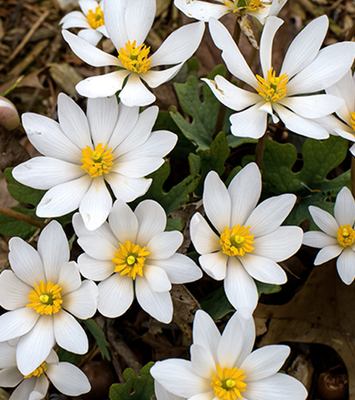 Bloodroot: 5 Major Benefits, How To Use, And Side Effects