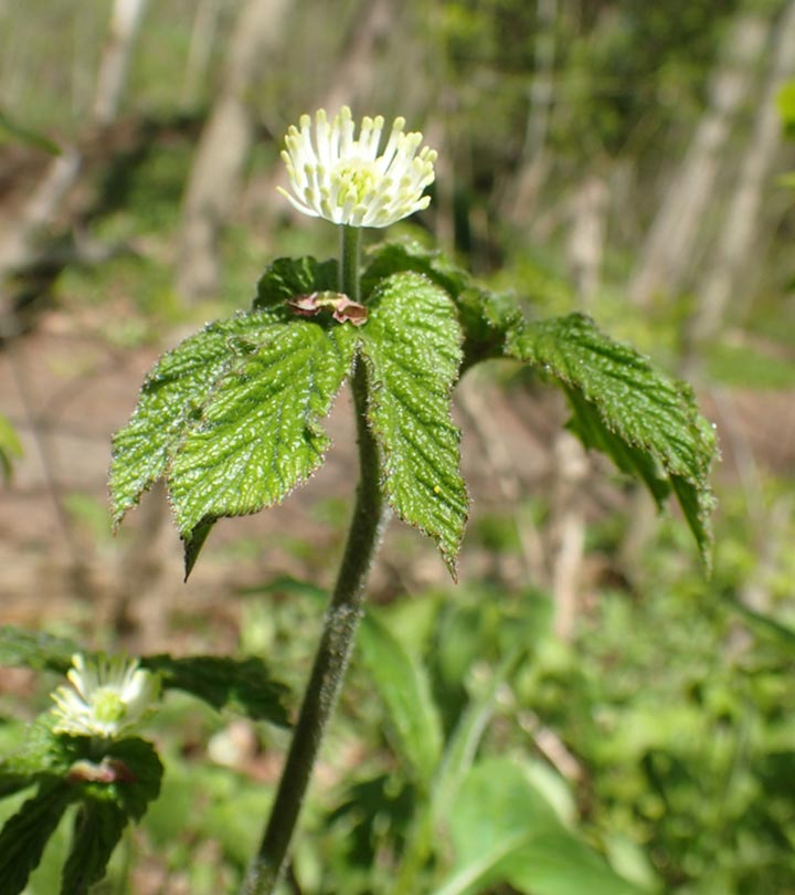 Goldenseal: 9 Potential Health Benefits, Dosage, And Possible Side Effects