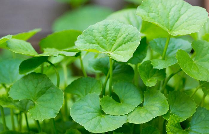 What Is Centella Asiatica
