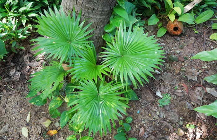 What Is Saw Palmetto?