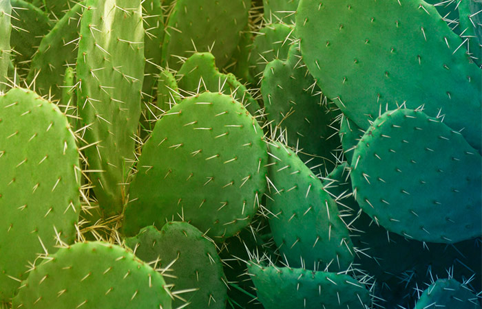 Jamaicans Like To Use Oil Derived From Cacti